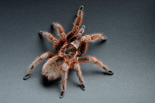 INS 04 AC0005 01 © Kimball Stock Chilean Rose Tarantula Crawling In Studio