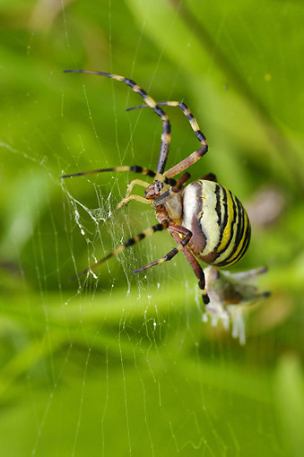 INS 04 AC0006 01 © Kimball Stock Wasp Spider Female Hanging On Web