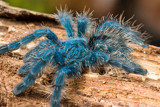 INS 04 WF0001 01 © Kimball Stock Antilles Pinktoe Tarantula Sitting On Log