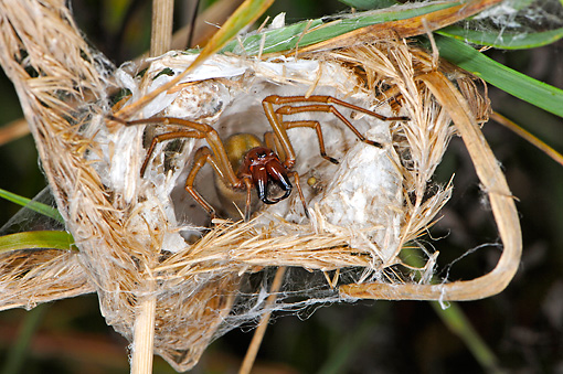 INS 04 WF0003 01 © Kimball Stock Yellow Sack Spider Female Guarding Eggsack