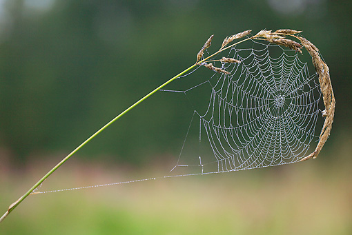 INS 04 WF0008 01 © Kimball Stock Portrait Of European Garden Spider Web Covered In Dew
