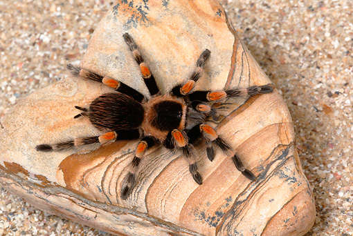 INS 04 KH0001 01 © Kimball Stock Mexican Red-kneed Tarantula Sitting On Rock