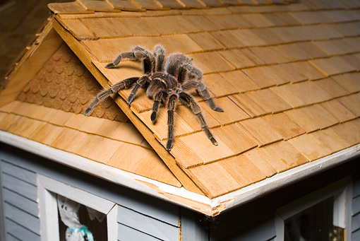 INS 04 RD0002 01 © Kimball Stock Close Up Of Tarantula Sitting On Roof Of Dollhouse Studio