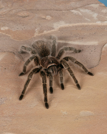 INS 04 RK0005 01 © Kimball Stock Tarantula On Flat Rock