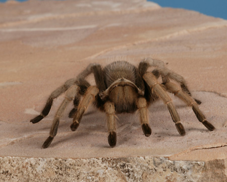 INS 04 RK0009 01 © Kimball Stock Tarantula On Flat Rock