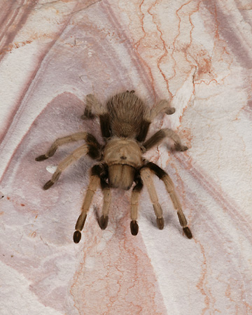 INS 04 RK0010 01 © Kimball Stock Tarantula On Flat Rock