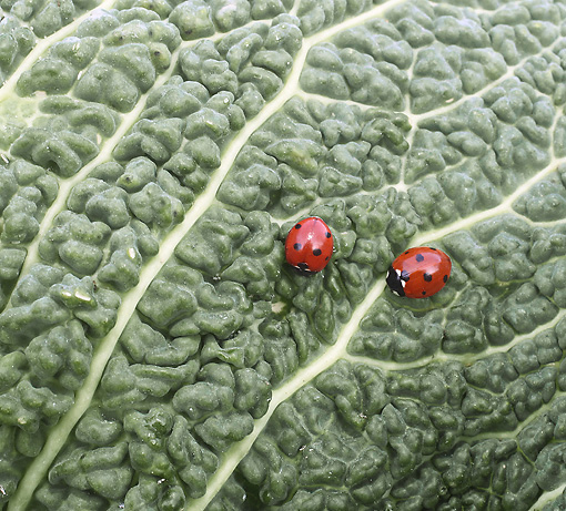 INS 05 JE0001 01 © Kimball Stock Two Seven-Spotted Ladybugs Crawling On Leaf