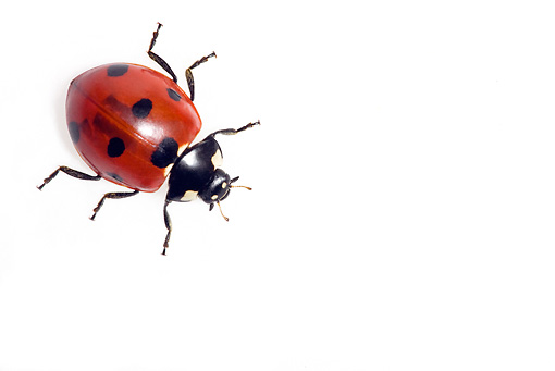INS 05 KH0001 01 © Kimball Stock Seven-Spotted Ladybug Crawling On White Seamless