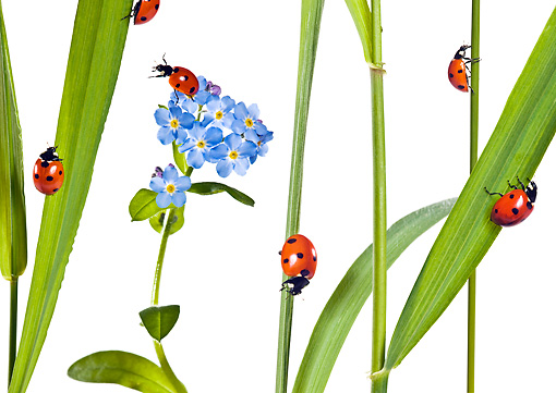 INS 05 KH0005 01 © Kimball Stock Seven-Spotted Ladybugs Crawling On Blades Of Grass And Flowers On White Seamless