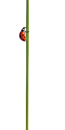 INS 05 KH0006 01 © Kimball Stock Seven-Spotted Ladybug Crawling On Flower Stem On White Seamless