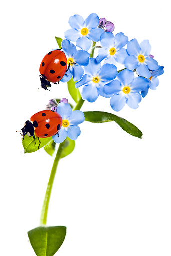 INS 05 KH0007 01 © Kimball Stock Seven-Spotted Ladybugs Crawling On Flowers On White Seamless