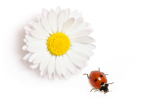 INS 05 KH0008 01 © Kimball Stock Seven-Spotted Ladybug Crawling By Daisy On White Seamless