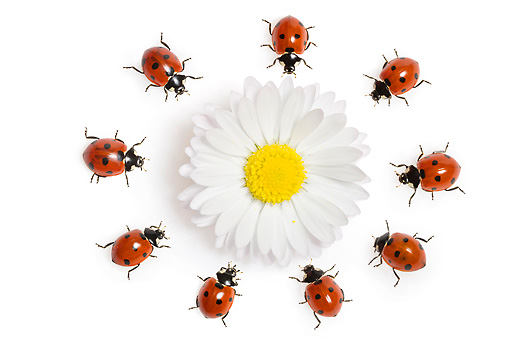 INS 05 KH0009 01 © Kimball Stock Seven-Spotted Ladybugs Crawling In Circle Around Daisy On White Seamless