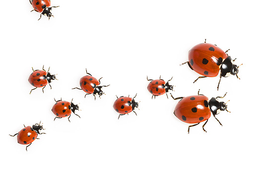 INS 05 KH0011 01 © Kimball Stock Family Of Seven-Spotted Ladybugs Crawling On White Seamless