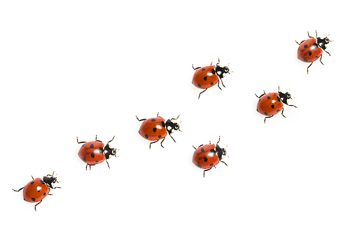 INS 05 KH0013 01 © Kimball Stock Seven-Spotted Ladybugs Crawling On White Seamless