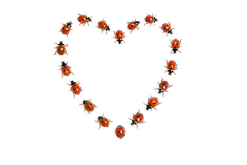 INS 05 KH0014 01 © Kimball Stock Seven-Spotted Ladybugs Crawling In Heart Shape On White Seamless