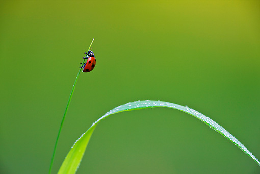 INS 05 KH0015 01 © Kimball Stock Seven-Spotted Ladybug Crawling On Blade Of Grass