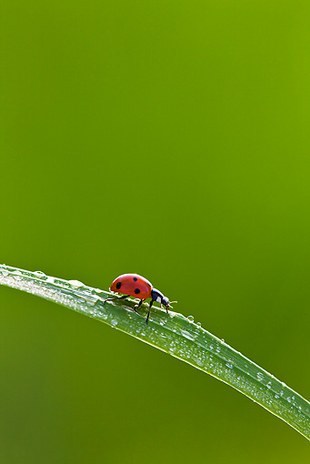 INS 05 KH0016 01 © Kimball Stock Seven-Spotted Ladybug Crawling On Blade Of Grass