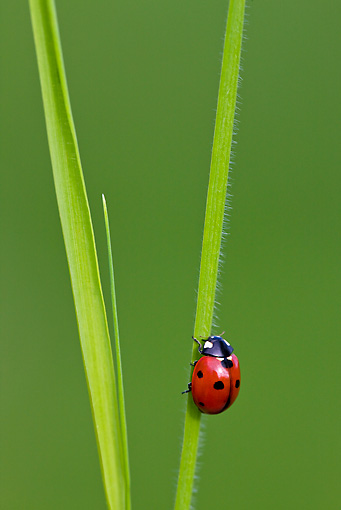 INS 05 KH0017 01 © Kimball Stock Seven-Spotted Ladybug Crawling On Blade Of Grass