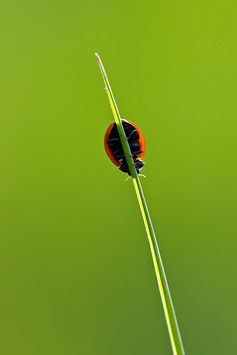 INS 05 KH0019 01 © Kimball Stock Seven-Spotted Ladybug Crawling On Blade Of Grass