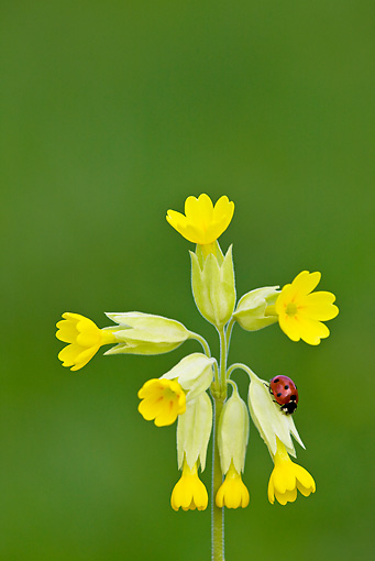 INS 05 KH0020 01 © Kimball Stock Seven-Spotted Ladybug Crawling Yellow Flowers