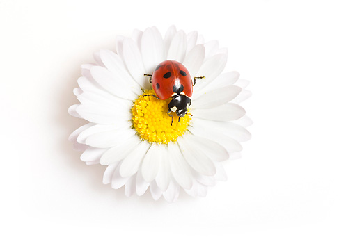 INS 05 KH0021 01 © Kimball Stock Seven-Spotted Ladybug Crawling On Daisy On White Seamless