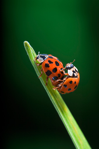 INS 05 TK0001 01 © Kimball Stock Nine-Spotted Ladybugs Mating On Grass Blade
