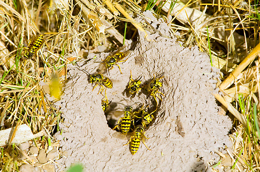 INS 06 TL0001 01 © Kimball Stock Western Yellowjackets Entering Nest