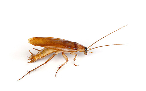 INS 07 RK0005 01 © Kimball Stock American Cockroach Profile On White Seamless