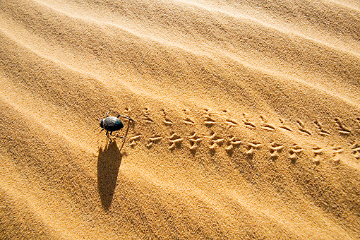 INS 08 MH0001 01 © Kimball Stock Darkling Beetle Walking On Sand In Desert