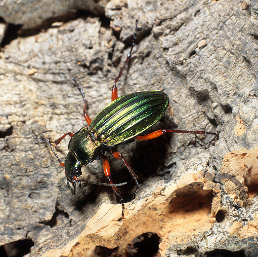 INS 08 WF0002 01 © Kimball Stock Golden Ground Beetle Standing On Bark