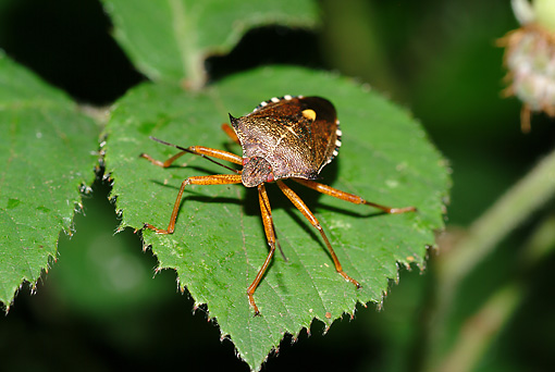 INS 08 WF0005 01 © Kimball Stock Forest Bug Standing On Leaf