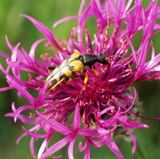 Yellow-Black Longhorn Beetle Sitting On Pink Flower
