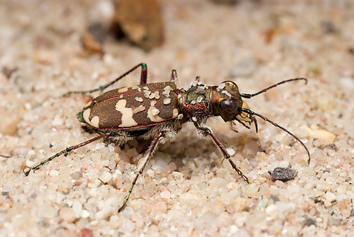 INS 08 WF0011 01 © Kimball Stock Northern Dune Tiger Beetle On Sand