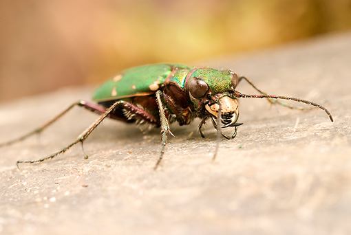 INS 08 WF0012 01 © Kimball Stock Green Tiger Beetle Sitting On Stone