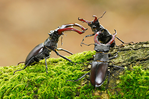 INS 08 WF0014 01 © Kimball Stock Three Male Stag Beetles Wrestling Over Female On Mossy Oak