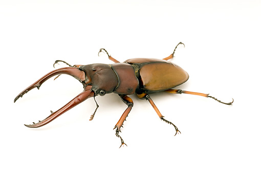 INS 08 WF0016 01 © Kimball Stock Common Red Stag Beetle Sitting On White Seamless