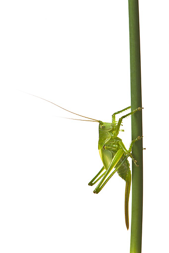 INS 11 KH0002 01 © Kimball Stock Great Green Grasshopper Female Crawling On Grass Stalk On White Seamless