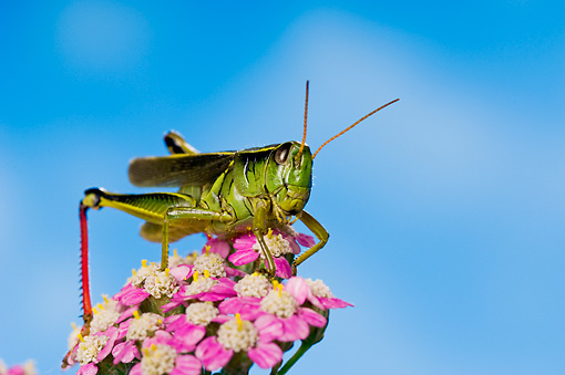 INS 11 TK0002 01 © Kimball Stock Red-Legged Grasshopper Sitting On Flower