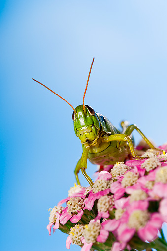 INS 11 TK0003 01 © Kimball Stock Red-Legged Grasshopper Sitting On Flower