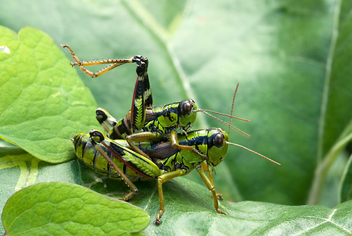 INS 11 WF0003 01 © Kimball Stock Alpine Grasshoppers Mating On Leaves