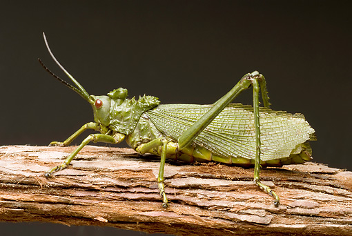 INS 11 WF0004 01 © Kimball Stock Green Milkweed Locust Sitting On Log