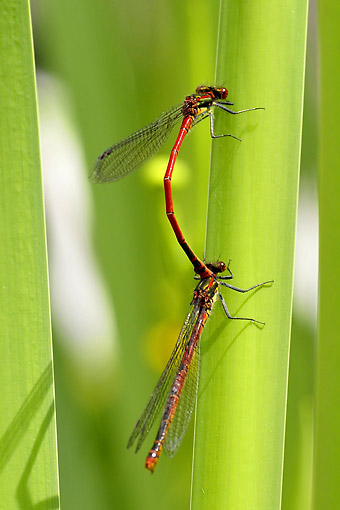 INS 13 AC0014 01 © Kimball Stock Large Red Damseflies Mating