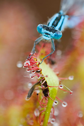 INS 13 AC0015 01 © Kimball Stock Azure Damselfly Caught On Oblong-Leaved Sundew, Lower Saxony, Germany