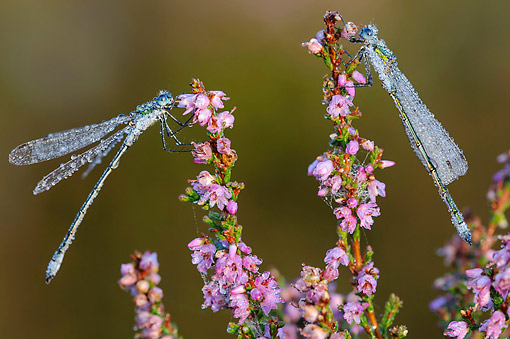 INS 13 AC0019 01 © Kimball Stock Emerald Damselflies On Flowers