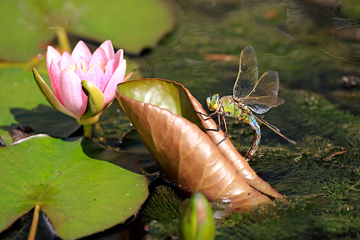 INS 13 AC0021 01 © Kimball Stock Emperor Dragonfly Landing On Leaf In Pond, Germany