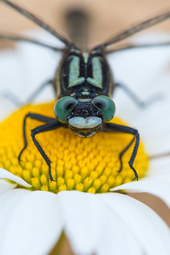 INS 13 AC0023 01 © Kimball Stock Club-Tailed Dragonfly Resting On Flower, Lower Saxony, Germany