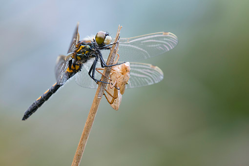 INS 13 AC0025 01 © Kimball Stock Black Darter (Or Black Meadowhawk) On Twig In Lower Saxony, Germany