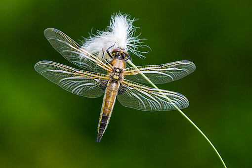 INS 13 AC0026 01 © Kimball Stock Four-Spotted Chaser (Or Skimmer) On Flower In Lower Saxony, Germany