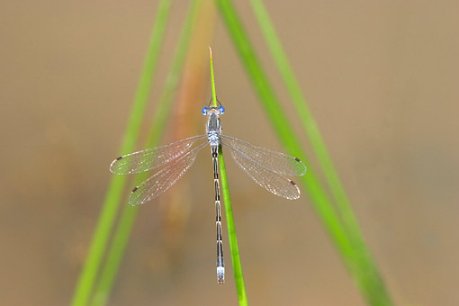 INS 13 DA0002 01 © Kimball Stock Sweet Flag Spreadwing Male Perched On Blade Of Grass In Wetlands